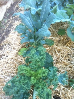 Growing Kale Everything You Need To Know